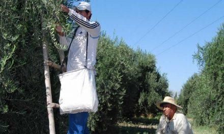 Un mayor volumen de aceitunas ayuda a paliar la suba de costos
