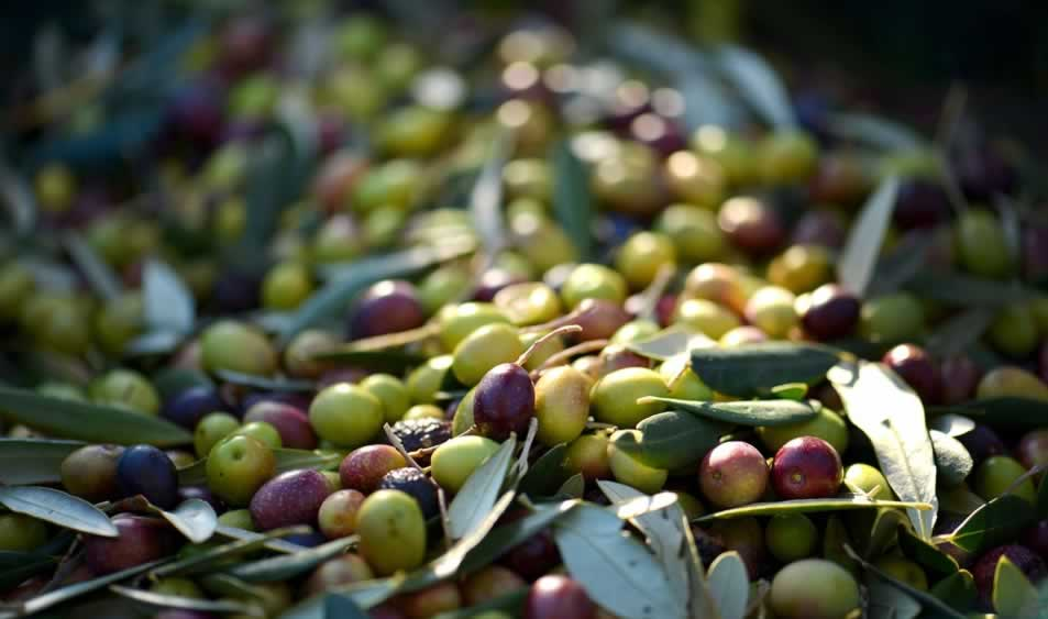 Se complica la campaña de aceite de oliva