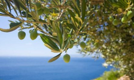 Hacia la mayor producción de aceite de oliva de la historia