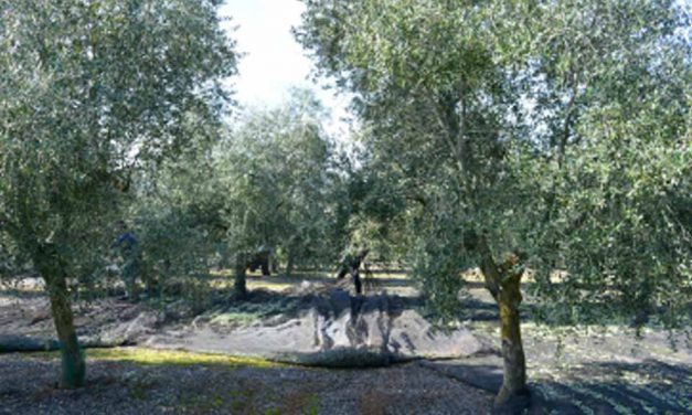 El olivo es el cultivo permanente mayoritario del mundo