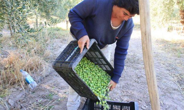 Piden que se excluya aceituna y aceite de oliva del acuerdo Mercosur Unión Europea