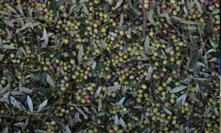 Italia se enfrenta a la peor campaña de su historia olivarera